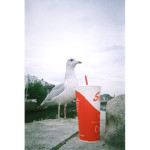 Seagull_NoelMcK_portrait