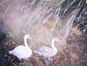 Noel McKenna - Swans